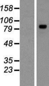 TYW1 Lysate (Adult Normal), Novus Biologicals (NBP2-06831)