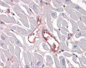 Immunohistochemistry of human heart capillaries stained using Integrin Alpha 5 Monoclonal Antibody.