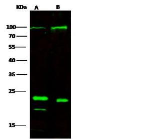 Anti-SELP Rabbit Polyclonal Antibody