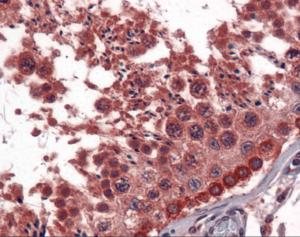 Immunohistochemistry of human testis tissue stained using EGF Monoclonal Antibody.