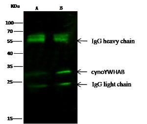Anti-14-3-3 beta Mouse Monoclonal Antibody [clone: 05]