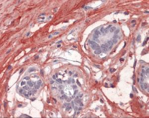 Immunohistochemistry of human breast tissue stained using Decorin Monoclonal Antibody.