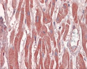 Immunohistochemistry of human heart tissue stained using DUSP6 Monoclonal Antibody.