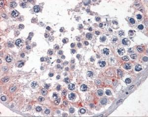Immunohistochemistry of human testis tissue stained using CDKL2 Monoclonal Antibody.