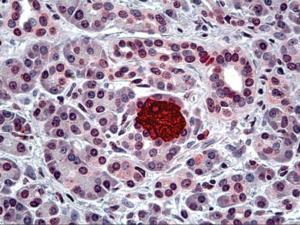 Immunohistochemistry of human pancreas tissue stained using Insulin Monoclonal Antibody.