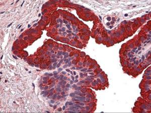 Immunohistochemistry of human prostate tissue stained using NABC1 Monoclonal Antibody.