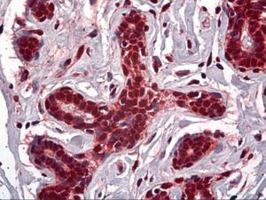 Immunohistochemistry of human breast tissue stained using STAG1 Monoclonal Antibody.