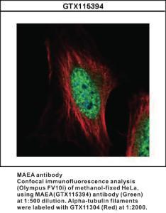 Anti-MAEA Rabbit Polyclonal Antibody
