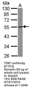 Anti-TDE1 Rabbit Polyclonal Antibody