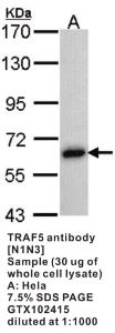 Anti-TRAF5 Rabbit Polyclonal Antibody