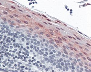 Immunohistochemistry of human tonsil tissue stained using Stefin B Monoclonal Antibody.