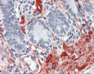 Immunohistochemistry of human small intestine tissue stained using FLNA Monoclonal Antibody.