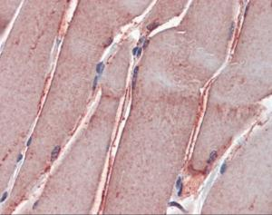 Immunohistochemistry of human skeletal muscle tissue stained using GSTM2 Monoclonal Antibody.
