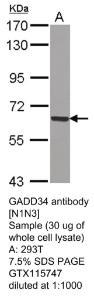 Anti-TRIM23 Rabbit Polyclonal Antibody