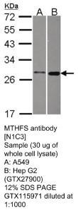 Anti-RAD51C Rabbit Polyclonal Antibody