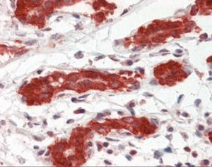Human breast tissue stained with PDCD4 Antibody at 5 ug/mL followed by biotinylated anti-mouse IgG secondary antibody, alkaline phosphatase-streptavidin and chromogen.