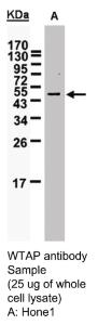 Anti-PLK1 Rabbit Polyclonal Antibody