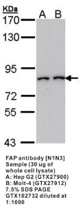Anti-FAP Rabbit Polyclonal Antibody