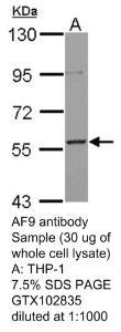 Anti-PIK3AP1 Rabbit Polyclonal Antibody