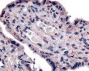 Immunohistochemistry staining of SLC7A5 in placenta tissue using SLC7A5 Antibody.