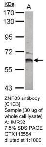 Anti-ZNF83 Rabbit Polyclonal Antibody