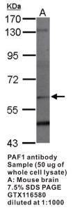 Anti-PAF1 Rabbit Polyclonal Antibody