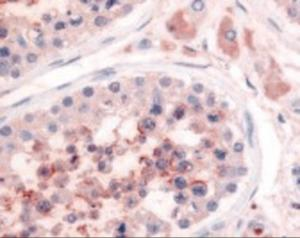 Immunohistochemistry staining of PDE3A in testis tissue using PDE3A Antibody.