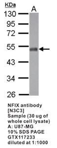 Anti-NFIX Rabbit Polyclonal Antibody