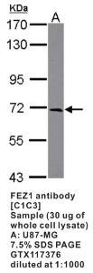 Anti-FEZ1 Rabbit Polyclonal Antibody