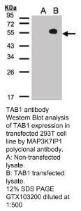 Anti-NT5DC1 Rabbit Polyclonal Antibody