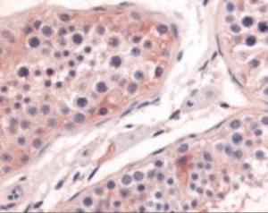Immunohistochemistry staining of PTGES in testis tissue using PTGES Antibody.