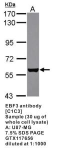Anti-EBF3 Rabbit Polyclonal Antibody