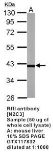 Anti-RFFL Rabbit Polyclonal Antibody