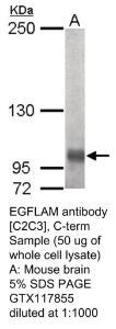 Anti-EGFLAM Rabbit Polyclonal Antibody