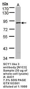 Anti-MX1 Rabbit Polyclonal Antibody