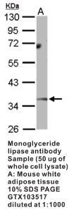 Anti-MGLL Rabbit Polyclonal Antibody