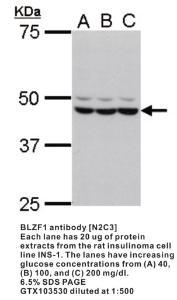 Anti-BLZF1 Rabbit Polyclonal Antibody