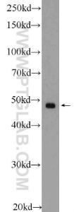 Anti-SMCR7 Rabbit Polyclonal Antibody