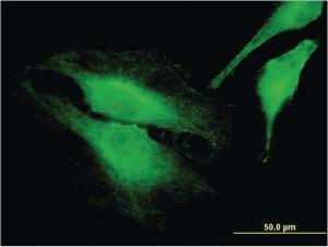 Anti-FARP1 Mouse Monoclonal Antibody [clone: 2D4]