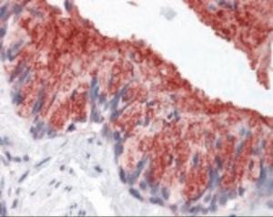 Immunohistochemistry staining of Mucin 1 in lung, respiratory epithelium using Mucin 1 Antibody.