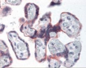 Immunohistochemistry staining of EIF2S1 in placenta using EIF2S1 Antibody.