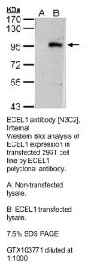 Anti-MAPK12 Rabbit Polyclonal Antibody