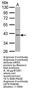 Anti-ARG2 Rabbit Polyclonal Antibody