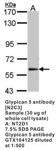 Anti-GPC5 Rabbit Polyclonal Antibody