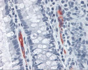 Human colon tissue stained with MADCAM1 Antibody at 10 ug/mL followed by biotinylated anti-mouse IgG secondary antibody, alkaline phosphatase-streptavidin and chromogen.