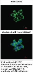 Anti-FUZ Rabbit Polyclonal Antibody