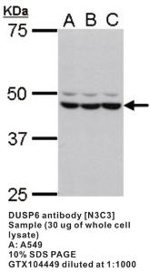 Anti-DUSP6 Rabbit Polyclonal Antibody