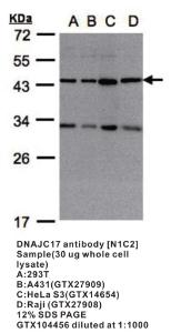 Anti-IGF2BP2 Rabbit Polyclonal Antibody
