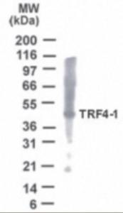 Western blot analysis ofPOLS inHeLa cell lysate using POLS antibody