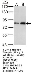 Anti-FCP1 Rabbit Polyclonal Antibody